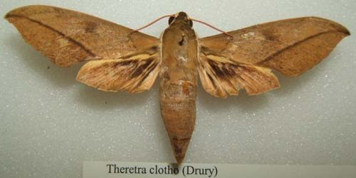 Hawk Moth | Theretra clotho photo