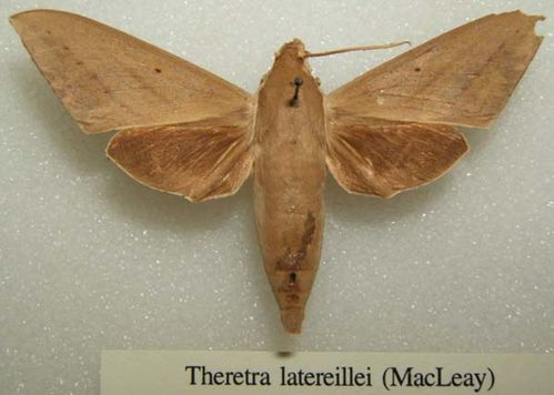 Hawk Moth | Theretra latreillii photo