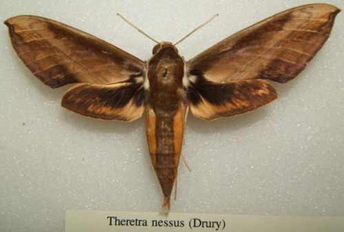 Yam Hawk Moth   Theretra nessus photo