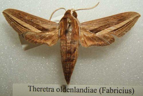 Yam Hawk Moth | Theretra oldenlandiae photo