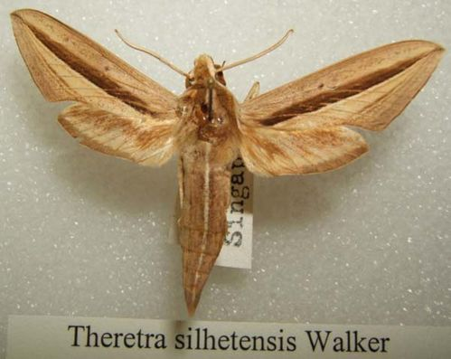 Hawk Moth | Theretra silhetensis photo