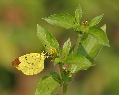 Papuan Grass-yellow | Eurema blanda photo