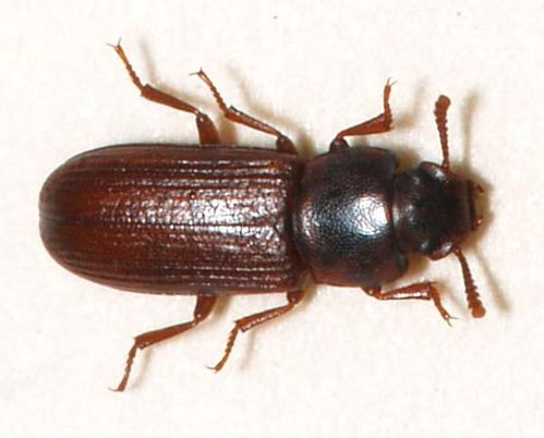 Confused Flour Beetle | Tribolium confusum photo