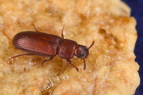 Rust Red Flour Beetle | Tribolium castaneum photo