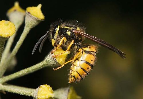 European Wasp | Vespula germanica photo