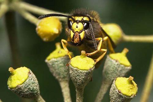 European Wasp | Vespula germanica photo