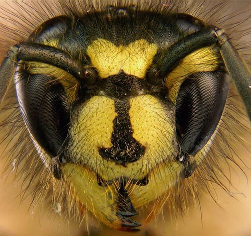 English Wasp   Vespula vulgaris photo