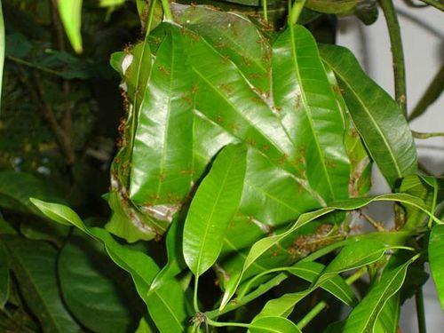 Green Tree Ant   Oecophylla smaragdina photo