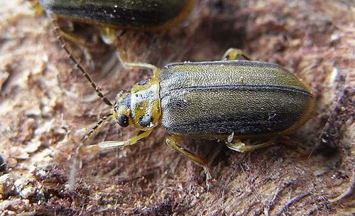 Elm Leaf Beetle | Xanthogaleruca luteola photo