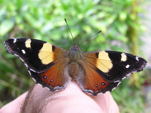 Yellow Admiral Butterfly | Vanessa itea photo
