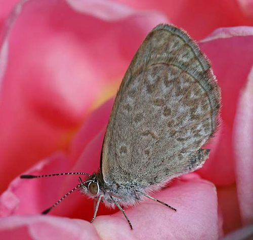 Common Grass Blue | Zizina labradus photo