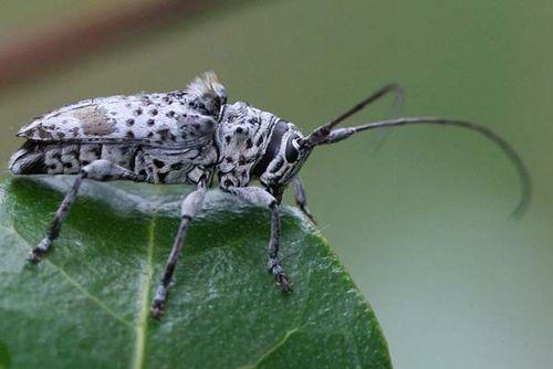 Longicorn Beetle | Zygocera plumifera photo