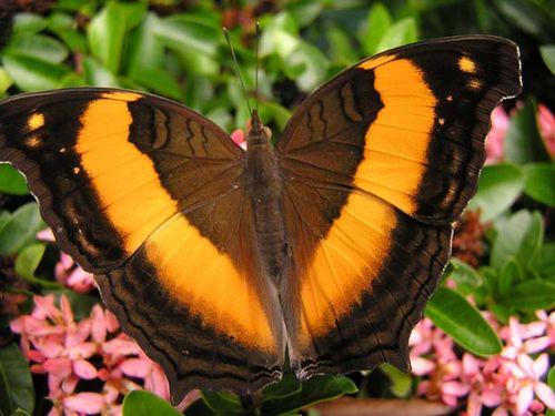 Lurcher Butterfly   Yoma sabina photo
