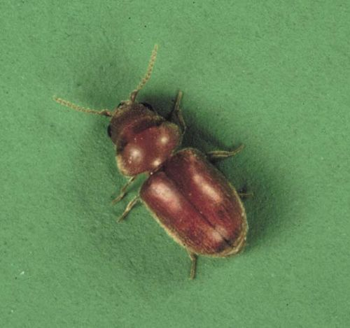 Cigarette Beetle | Lasioderma serricorne photo