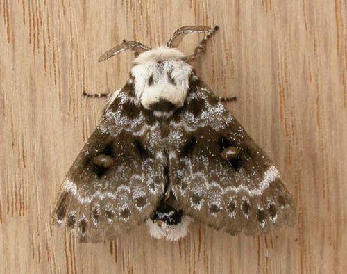 Crexa Moth | Genduara punctigera photo