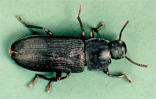 Dark Mealworm | Tenebrio obscurus photo