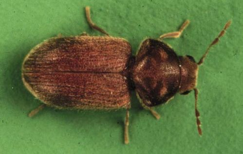 Drugstore Beetle | Stegobium paniceum photo