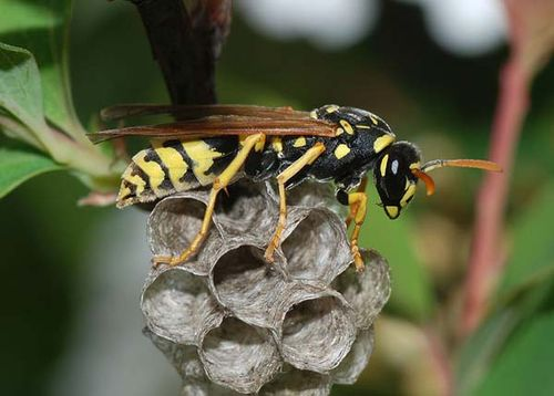 European Paper Wasp | Polistes dominulus photo