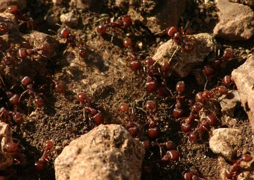 Fire Ant | Solenopsis invicta photo