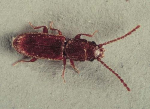 Flat Grain Beetle | Cryptolestes pusillus photo