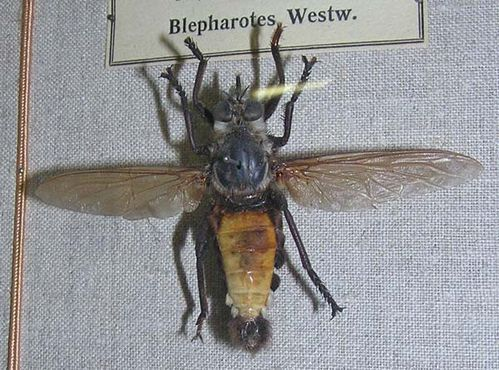 Giant Yellow Robber Fly | Blepharotes coriarius photo