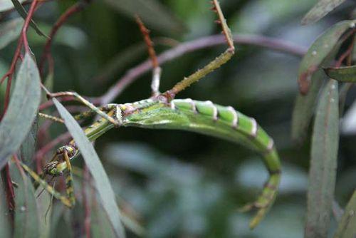 Goliath Stick Insect   Eurycnema goliath photo