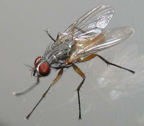 Lesser House Fly | Fannia canicularis photo