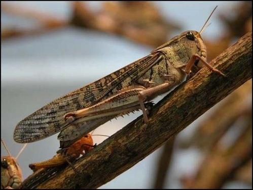 Migratory Locust | Locusta migratoria photo