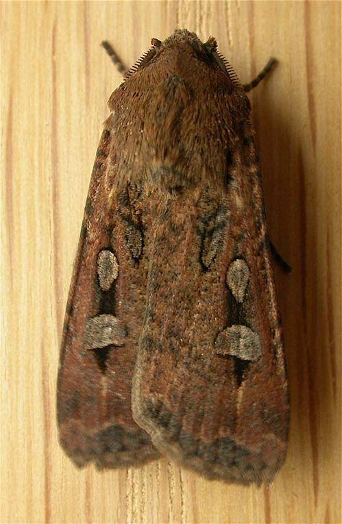 Bogong moth | Agrotis infusa photo