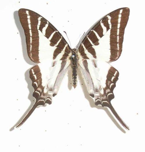 Five-barred Swordtail   Graphium aristeus photo