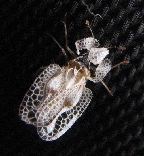 Sycamore Lace Bug   Corythucha ciliata photo
