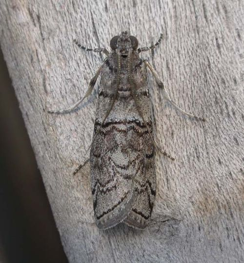 Almella Frass Moth | Ctenomeristis almella photo