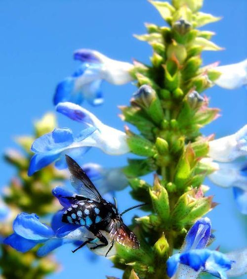 Cuckoo Bee | Thyreus caeruleopunctatus photo