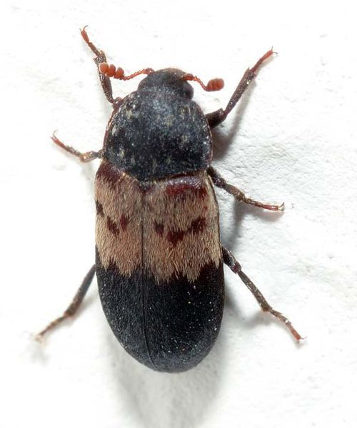 Larder Beetle | Dermestes lardarius photo