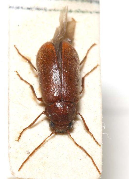 Pine Bark Anobiid | Ernobius mollis photo