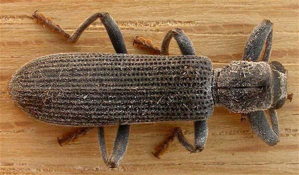 Clerid Beetle | Eunatalis porcata photo