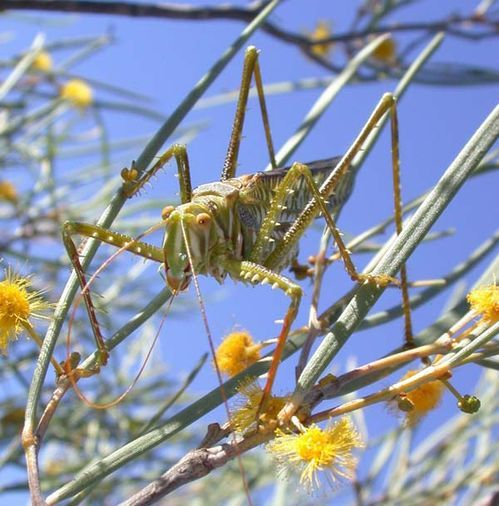 Spotted Predatory Katydid | Chlorobalius leucoviridis photo