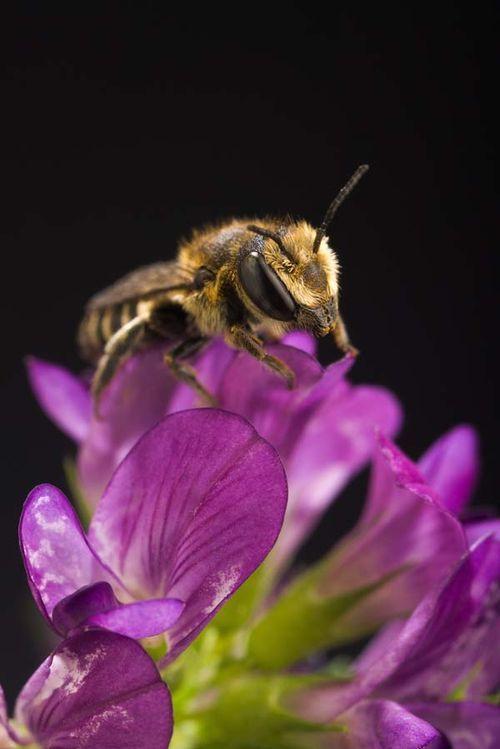 Alfalfa Leafcutter Bee   Megachile rotundata photo