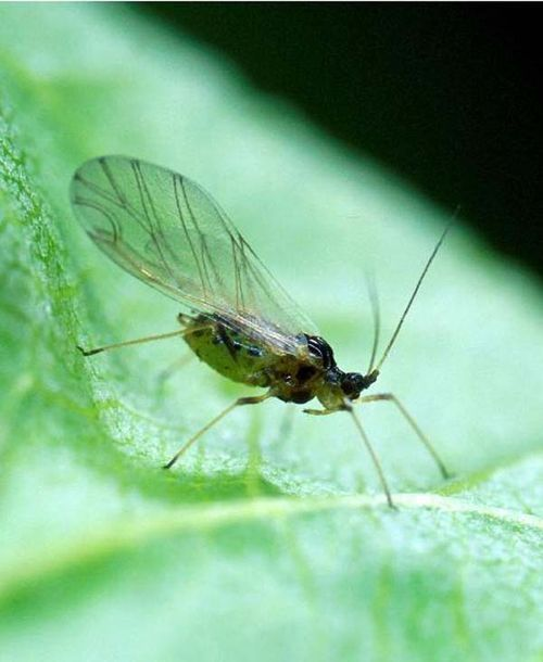 Green Peach Aphid   Myzus persicae photo