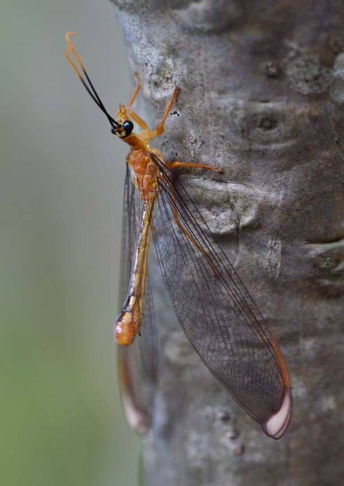 Blue Eyes Lacewing | Nymphes myrmeleonides photo