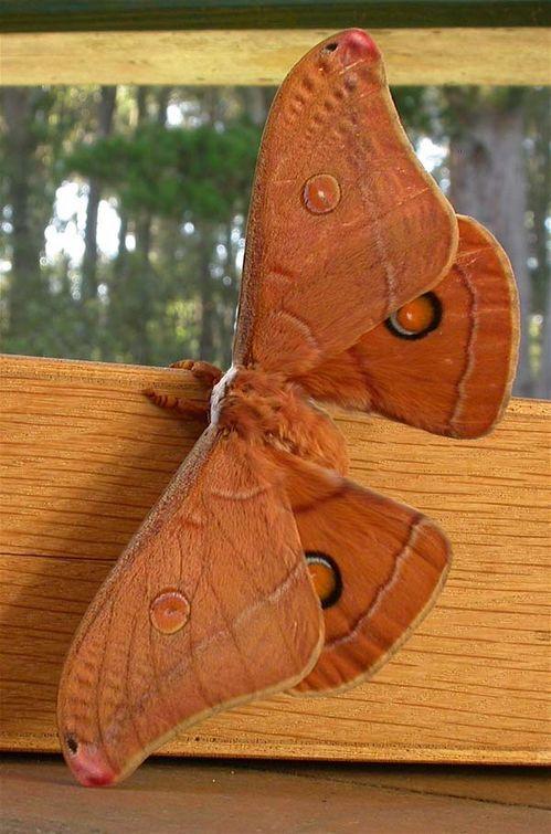 Helena Gum Moth | Opodiphthera helena photo