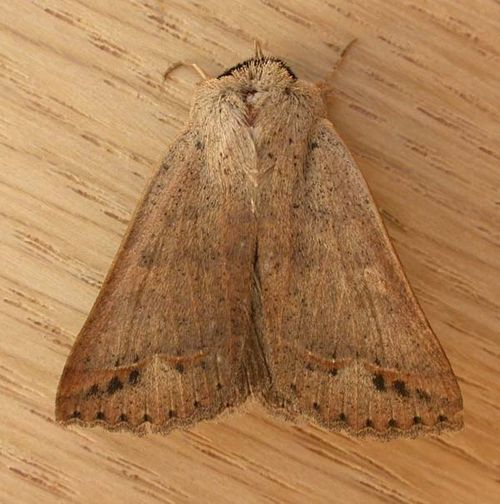 noctuid moth | Pantydia sparsa photo