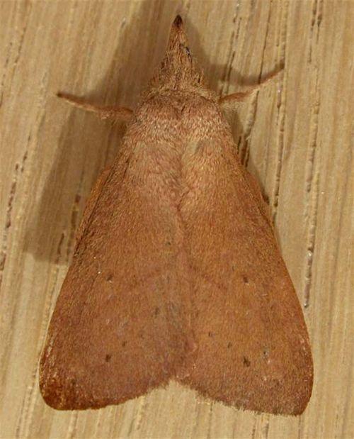 Wattle Snout Moth | Pararguda nasuta photo