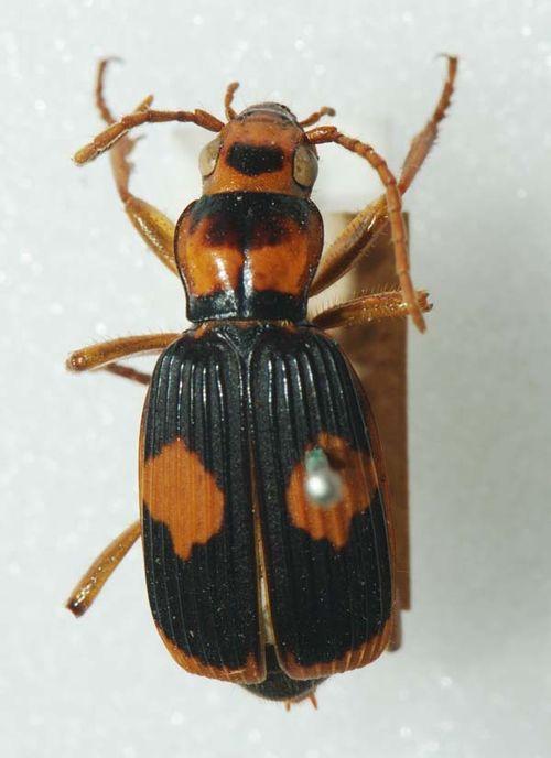 Bombardier Beetle | Pheropsophus verticalis photo