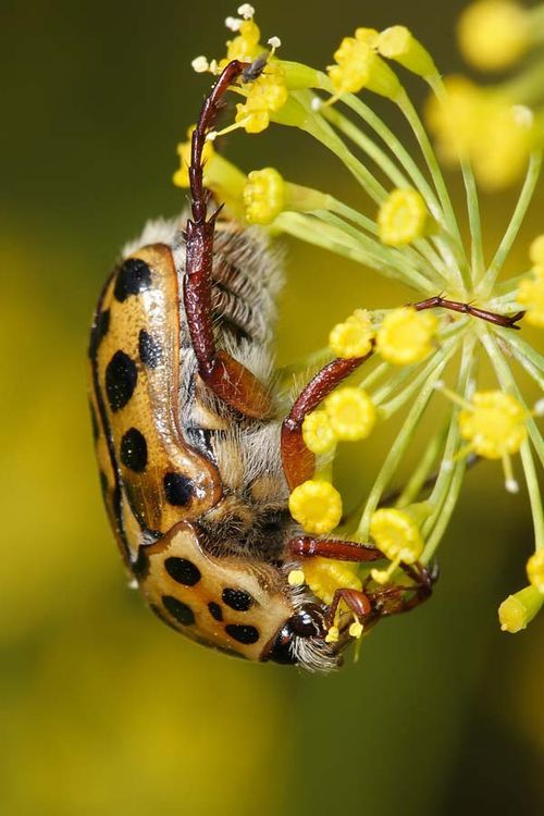 Punctate Flower Chafer | Polystigma punctata photo