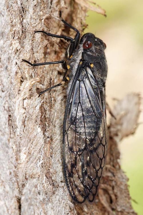 Red Eye Cicada | Psaltoda moerens photo