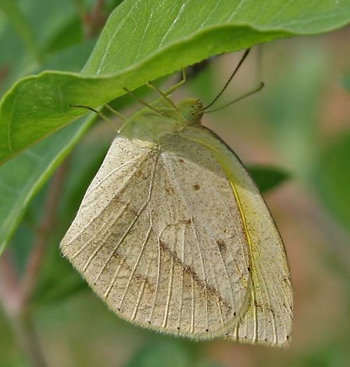 Lined Grass-yellow | Eurema laeta photo