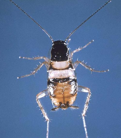 Brown-banded Cockroach | Supella longipalpa photo