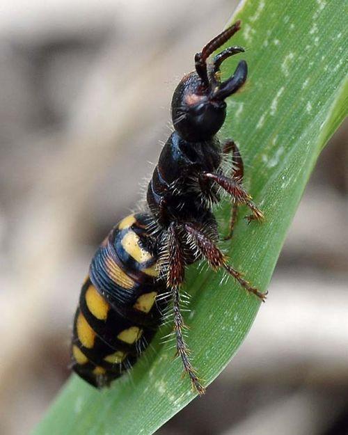 Native Flower Wasp   Thynnus zonatus photo