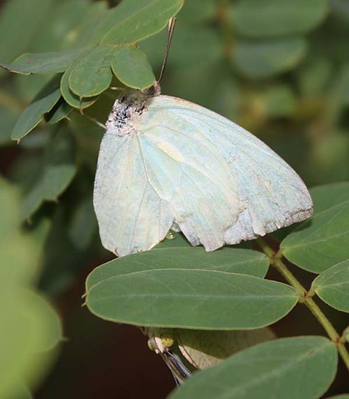 White Migrant | Catopsilia pyranthe photo